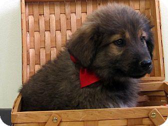 Maremma Sheepdog/Border Collie Mix Puppy for adoption in Republic, Washington - Cheddar