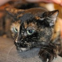 Domestic Shorthair Cat for adoption in Pt. Richmond, California - VENICE