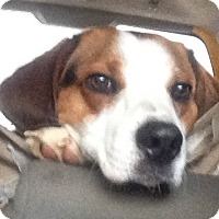 Adopt A Pet :: Dazzle - Bakersville, NC