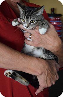 Domestic Shorthair Kitten for adoption in Surrey, British Columbia - Nigel