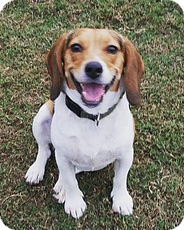 Beagle Mix Dog for adoption in Richmond, Virginia - Sue