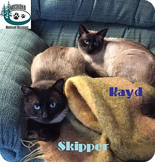 Siamese Cat for adoption in Huntsville, Ontario - Skipper &Kayd-Adopted May 2017