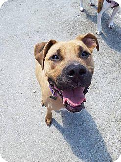 Boxer Mix Dog for adoption in Mission, Kansas - Baton Rouge