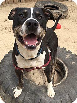 Husky/Pit Bull Terrier Mix Dog for adoption in Mt Vernon, New York - Kingston