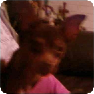 Miniature Pinscher Dog for adoption in Green Cove Springs, Florida - COCO