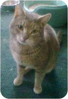 Domestic Shorthair Cat for adoption in Medford, Massachusetts - Jimbo