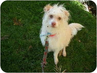 Maltese/Poodle (Miniature) Mix Dog for adoption in Sherman Oaks, California - Prince Harry