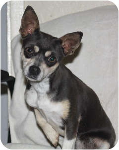 Chihuahua Mix Dog for adoption in Edmonton, Alberta - Penelope
