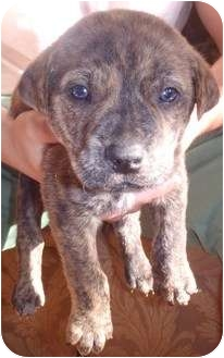 German Shepherd Dog/Labrador Retriever Mix Puppy for adoption in Bel Air, Maryland - Saki