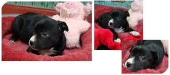 American Staffordshire Terrier Mix Puppy for adoption in Haughton, Louisiana - Brittany (Hope)