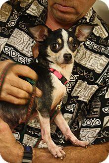 Chihuahua Mix Dog for adoption in Hamburg, Pennsylvania - Ella