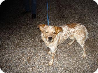 Australian Shepherd/Australian Cattle Dog Mix Dog for adoption in Beaver, Utah - Harrison