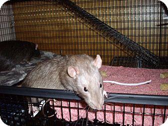 Rat for adoption in Greenwood, Michigan - Quatro