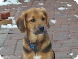 German Shepherd Dog/Hound (Unknown Type) Mix Puppy for adoption in Minneapolis, Minnesota - Jenson