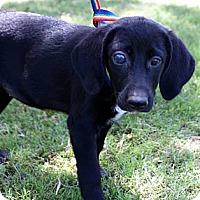 Adopt A Pet :: Baby Blue - Glenpool, OK