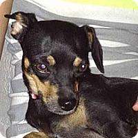 Adopt A Pet :: Friday - Chandler, AZ
