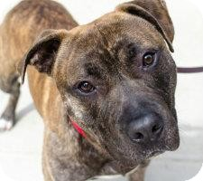 Pit Bull Terrier Mix Dog for adoption in Brooklyn, New York - Handsome