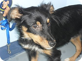 Shepherd (Unknown Type) Mix Puppy for adoption in Fort Lupton, Colorado - Neona