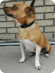 Chihuahua Mix Dog for adoption in Columbus, Nebraska - Ivan