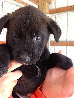 Shepherd (Unknown Type)/Retriever (Unknown Type) Mix Puppy for adoption in Florence, Indiana - Kaleb