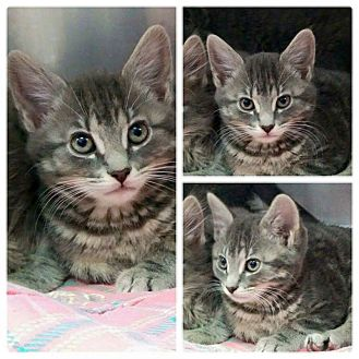 Domestic Mediumhair Kitten for adoption in THORNHILL, Ontario - Daisy
