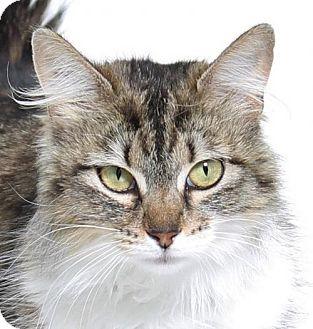 Domestic Mediumhair Cat for adoption in Truckee, California - Lolly