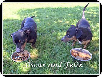 Dachshund Mix Dog for adoption in Ledyard, Connecticut - Felix