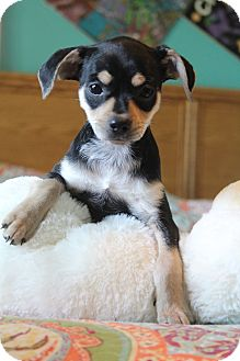 Boston Terrier/Pug Mix Puppy for adoption in Southington, Connecticut - Quinn