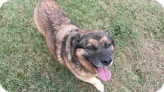 Corgi/Norwegian Elkhound Mix Dog for adoption in Hagerstown, Maryland - Delilah
