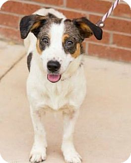 Corgi/Jack Russell Terrier Mix Dog for adoption in McKinney, Texas - Annabelle