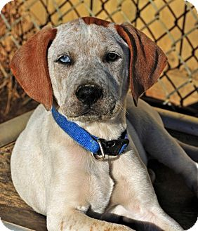 Coonhound/Boxer Mix Puppy for adoption in Pleasant Plain, Ohio - Boyle