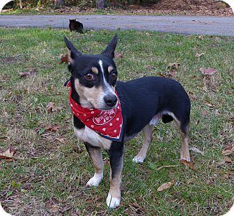 Rat Terrier/Corgi Mix Dog for adoption in Mocksville, North Carolina - Korbin