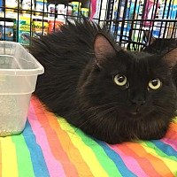 Domestic Longhair Cat for adoption in Gilbert, Arizona - Melody