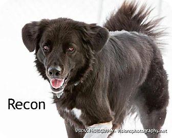 Border Collie/Retriever (Unknown Type) Mix Dog for adoption in Cedar Rapids, Iowa - Recon