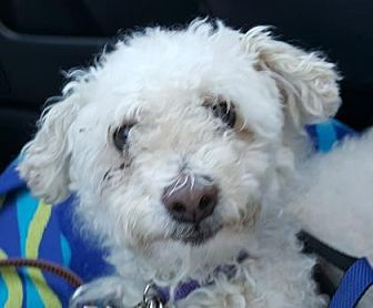 Miniature Poodle Mix Dog for adoption in Scottsdale, Arizona - Bob
