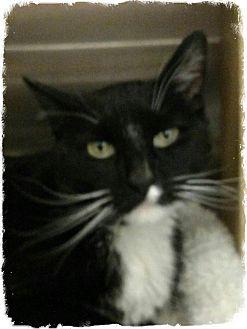 Domestic Shorthair Cat for adoption in Pueblo West, Colorado - O'Man