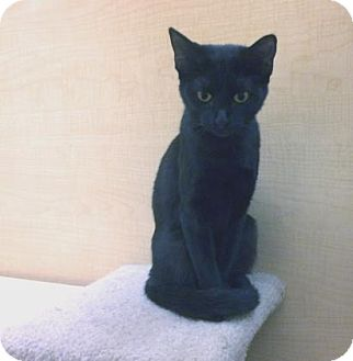 Domestic Shorthair Kitten for adoption in Bulverde, Texas - Raven 2