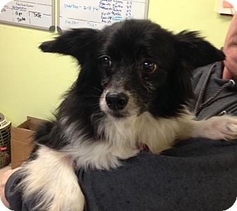 Papillon Mix Dog for adoption in Newburgh, Indiana - Lil Buddy