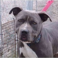 American Bulldog Mix Dog for adoption in West Los Angeles, California - Woofy