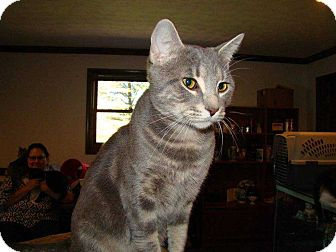 Domestic Shorthair Cat for adoption in Norwich, New York - Jake