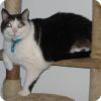 Snowshoe Cat for adoption in Powell, Ohio - Ozzie