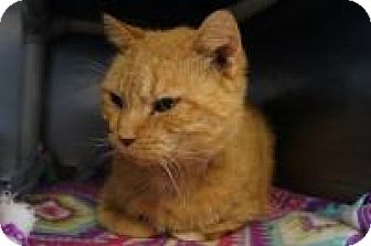 Domestic Shorthair Cat for adoption in New Milford, Connecticut - Viggo