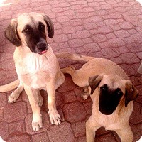 Shepherd (Unknown Type)/Retriever (Unknown Type) Mix Dog for adoption in Erin, Ontario - Sugar