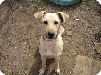 Labrador Retriever Dog for adoption in Cantonment, Florida - Missy Missy