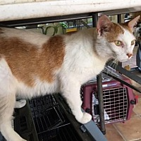 Domestic Shorthair Cat for adoption in Capshaw, Alabama - Mater