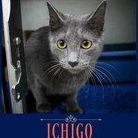 Adopt A Pet :: Ichigo - Fillmore, IN