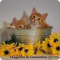 Adopt A Pet :: Tangerine & Clementine - Brockton, MA