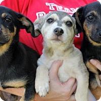 Adopt A Pet :: WrestleMania Puppies - Males - San Diego, CA