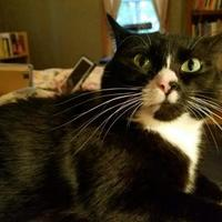 Domestic Shorthair/Domestic Shorthair Mix Cat for adoption in Boonville, Missouri - Frankie