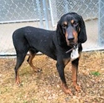 Black and Tan Coonhound Dog for adoption in Cleveland, Ohio - Marshall Dillon